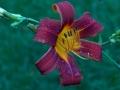 backyardlily-jpg