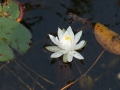 lily-jpg
