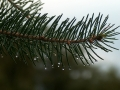 pinebranchwithdropsofrain-jpg
