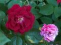 redrosepinkrose-jpg