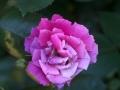 rose-jpg
