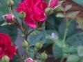 rosebud-jpg