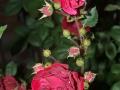roses-jpg